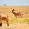 Cotes Hartebeest graze on the savannah. Serengeti National Park, Tanzania
