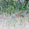 A pair of Dik Diks look warily into the camera from under a brush. Serengeti National Park, Tanzania