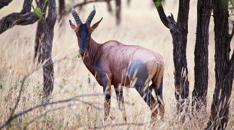 A Topi grazes on the Savannah. Serengeti National Park, Tanzania