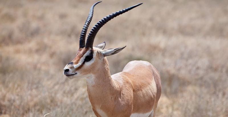 Portrait of a Grant's Gazelle. Serengeti National Park, Tanzania