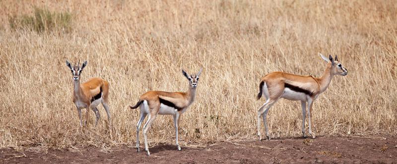I trio of Thompson's Gazelles on the Savanna. Serengeti National Park, Tanzania