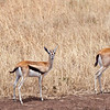 I trio of Thompson's Gazelles on the Savanna. Serengeti National Park, Tanzania