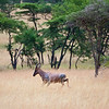 A Topi runs across the Savannah. Serengeti National Park, Tanzania