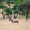 A Topi runs across the Savannah. Serengeti National Park, Tanzania