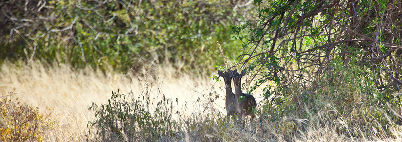 A pair of Dik Diks look warily into the camera from under a brush. Serengeti National Park, Tanzania