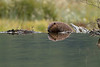 Castor reparando su dique, Tierra del Fuego