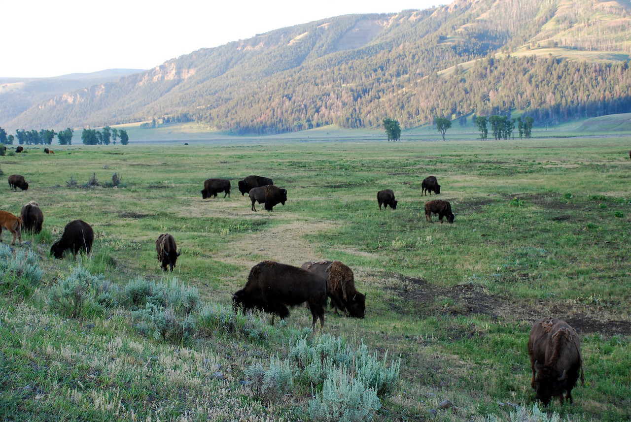 American bison (Bison bison). Lamar Valley, Yellowstone National Park, USA.