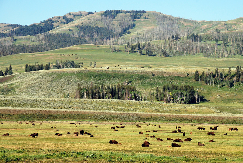 Bisons in the Lamar Valley, Yellowstone National Park.