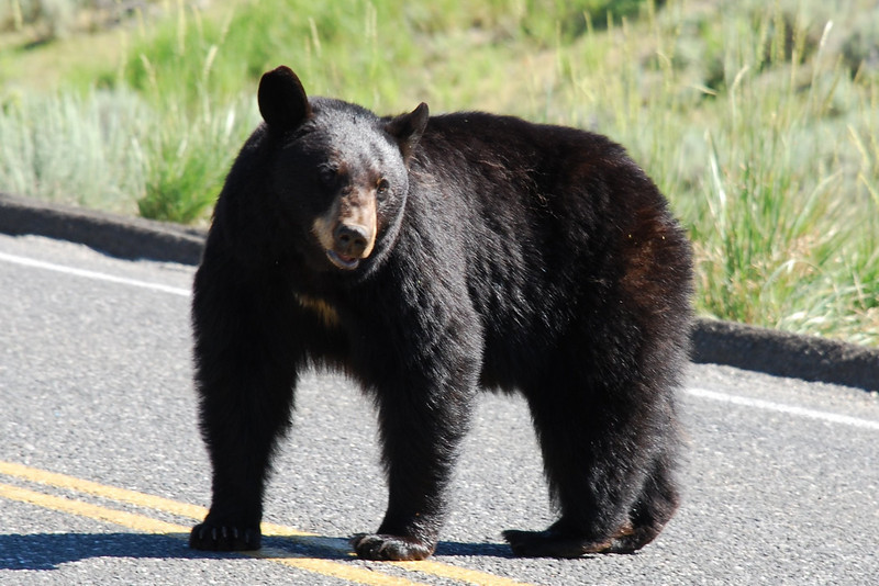 American black bear (Ursus americanus). Yellowstone National Park, USA.