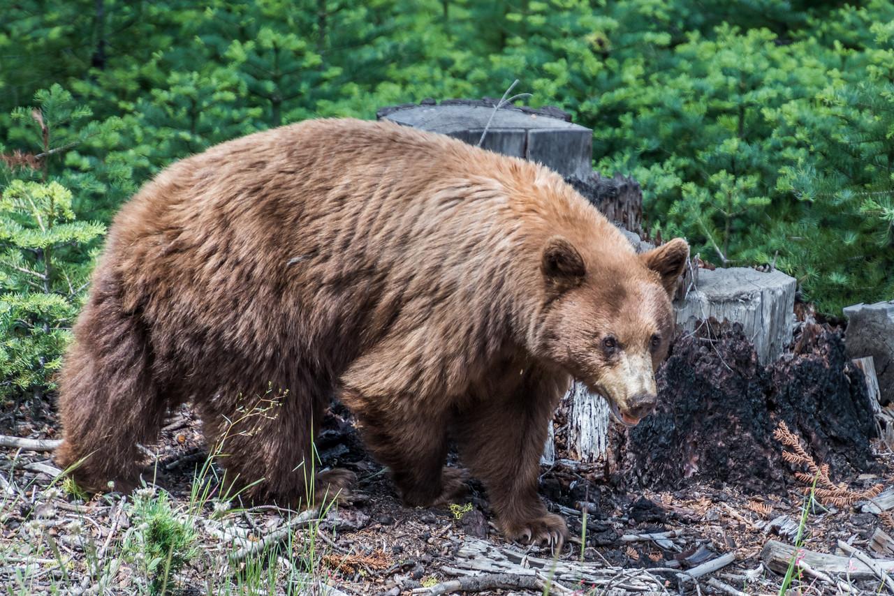 Black bear (Ursus americanus) female, cinnamon phase. Glacier Point Road, Yosemite National Park, CA.
