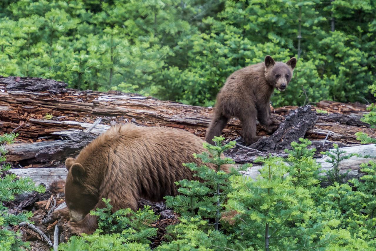Black bear (Ursus americanus) female with cub, cinnamon phase. Glacier Point Road, Yosemite National Park, CA.