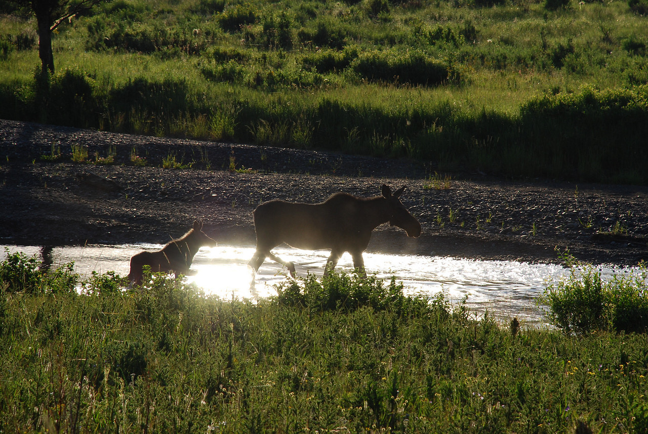 American moose (Alces americanus) with calf. Lamar Valley, Yellowstone National Park, USA.