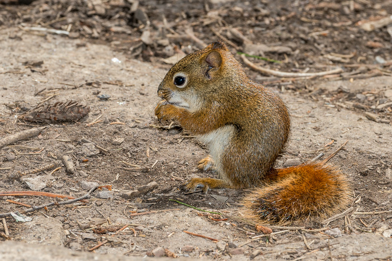 Red squirrel or pine squirrel (Tamiasciurus hudsonicus).  George H. Crosby - Manitou State Park, Minnesota