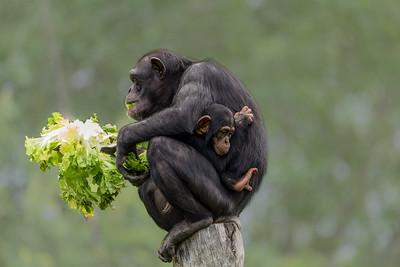 Chimpanze with child