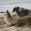Elephant seal.  I said no, I have a headache.   Piedras Blancas, California.