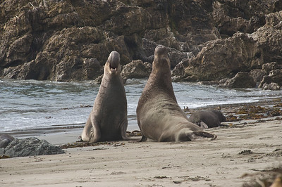 Young bull elephant seals challenge for beach dominance.  Piedras Blancas, California.