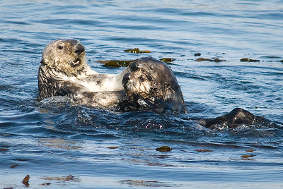Sea otter with nursing cubs.  Morro Bay, California.