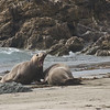 Battles between rival bulls are often brutal.  Piedras Blancas, California.