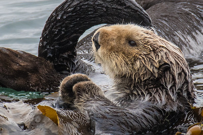 Sea Otter.  Morro rock, Morro Bay State park, California.