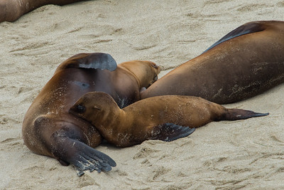 Sea lion with nursing cub at La Jolla cove.  July 2017.