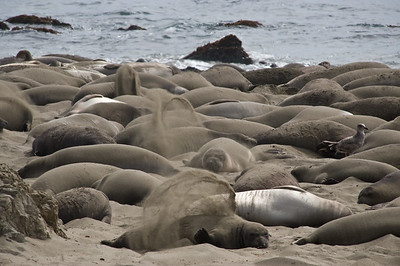 Elephant seal bask in afternoon sun.  Piedras Blancas, California.