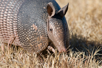 Armadillo, Hackberry Flats Wildlife Management Area, OK