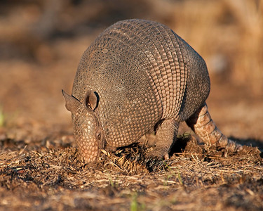 Armadillo, Wichita Mountains Wildlife Refuge, Oklahoma