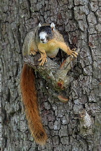 Bachman Fox Squirrel