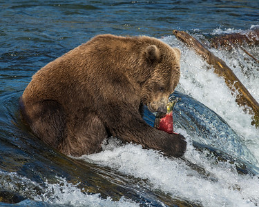 Brown Bear, Brooks Falls, Katmai National Park, AK