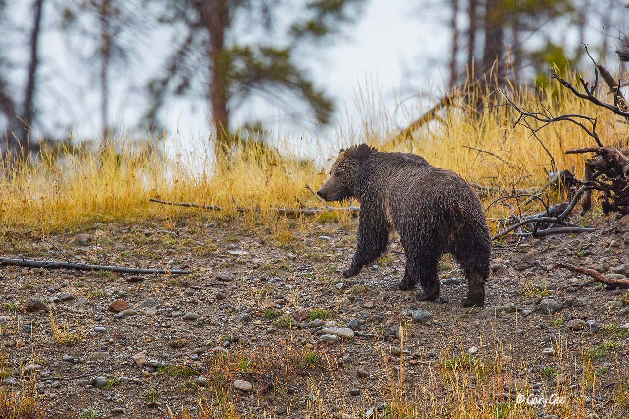 Grizzly bear in the pouring down rain in early October 2015 in Yellowstone Park