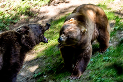 fighting bears