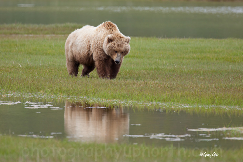 Grizzly sow. There's that round figure again!