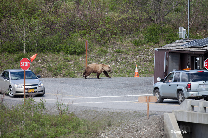 Grizzly jumps up out of the river bed and is spooked from a nearby car rolling his window down for a photo....He trots right past the Ranger Station at the 15 mile point of the Denali Park road.
