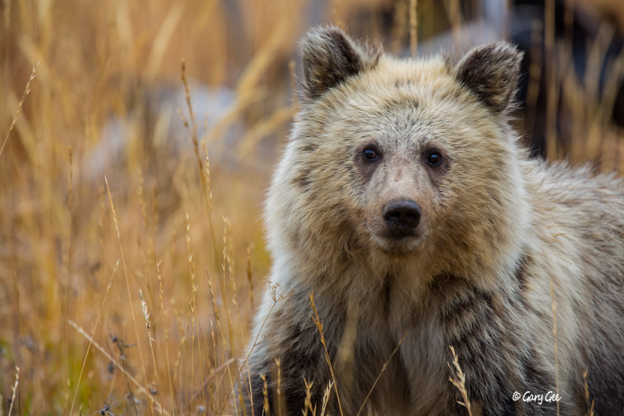 Grizzly Cub in Yellowstone Park just a little too close!- 2015