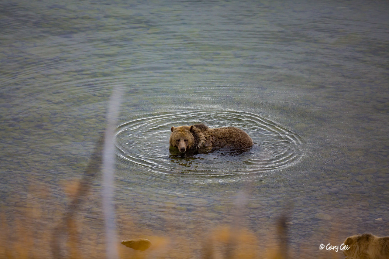Grizzly Bear taking a bath in Yellowstone Lake as her cub waits on the dry shoreline.