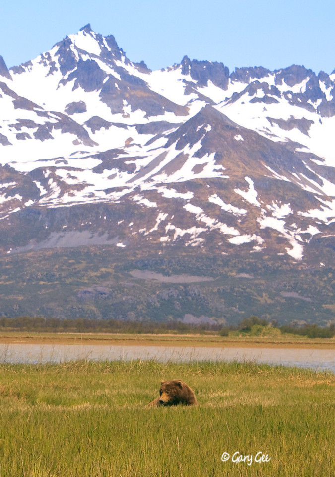 Male Grizzly settles down in a low, moist depression to feed on the first spring grasses.