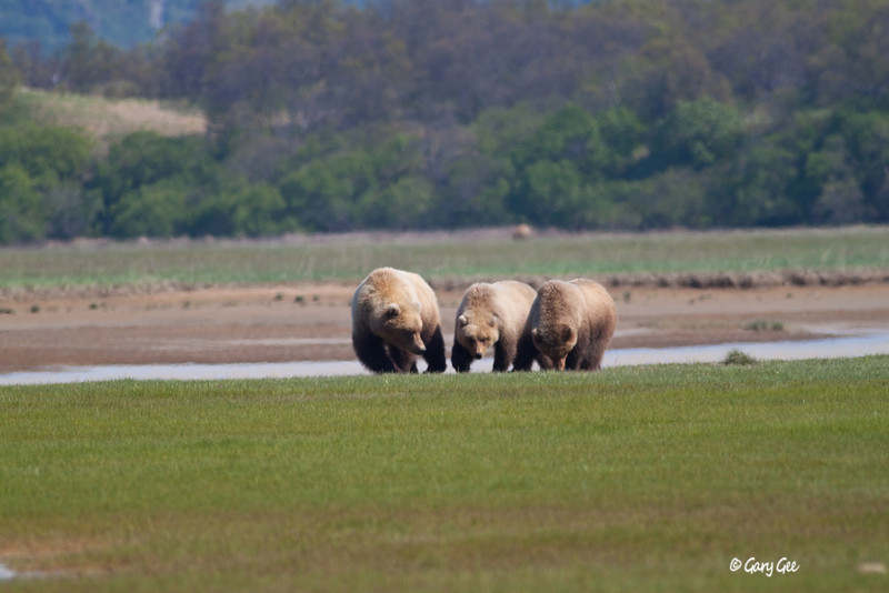 Sow and her two year old cubs....far background another bear!