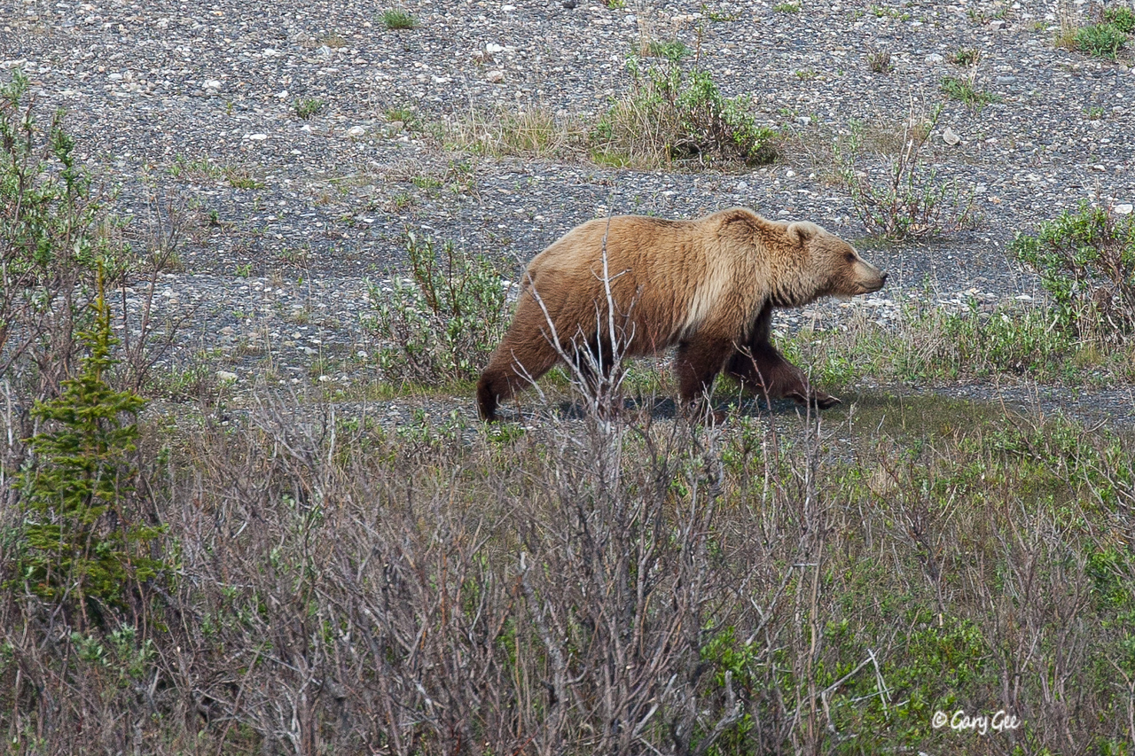 Grizzly in Denali National Park walks the river bed just below us.....