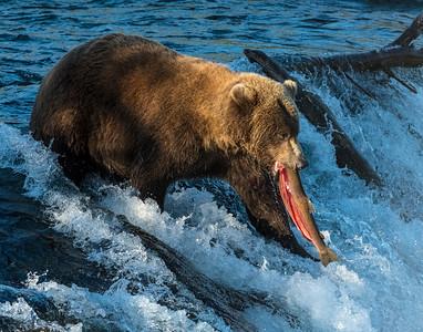 Brown Bear, Brooks Falls, Katmai National Park, AK