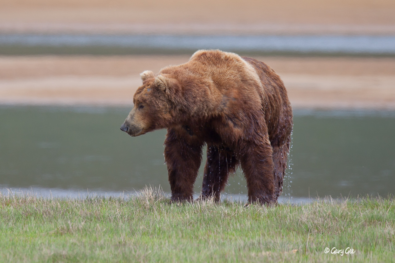Wet Grizzly, fresh from a swim across the river in Katmai National Park