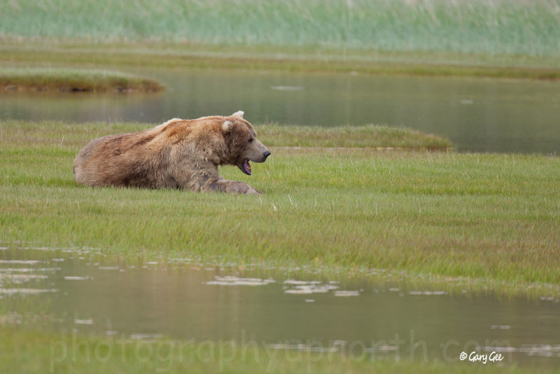 lazy dominant brown bear boar waits nearby as sow feeds heavily on sage grasses