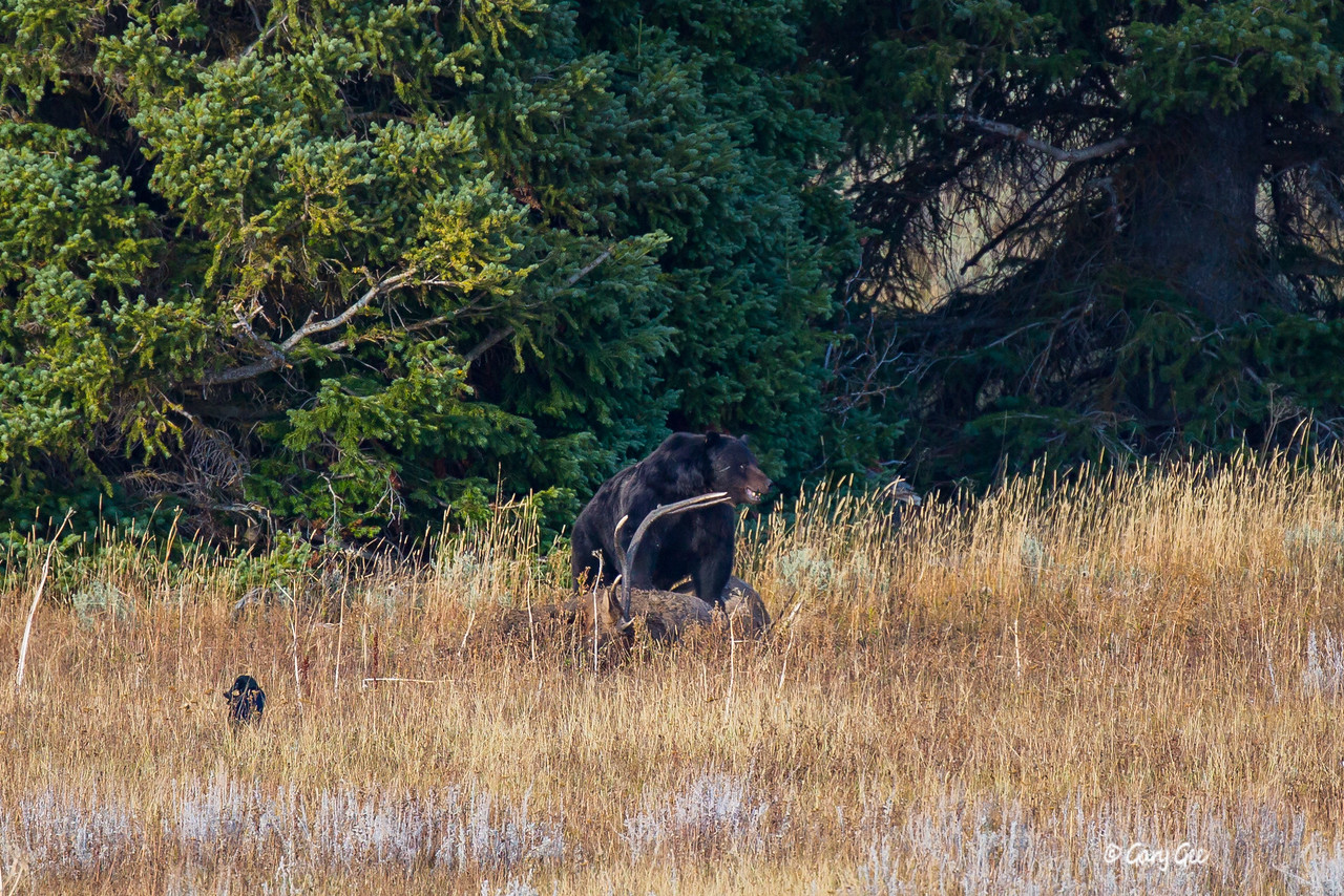 Grizzly Bear in Yellowstone Park Oct. 2015