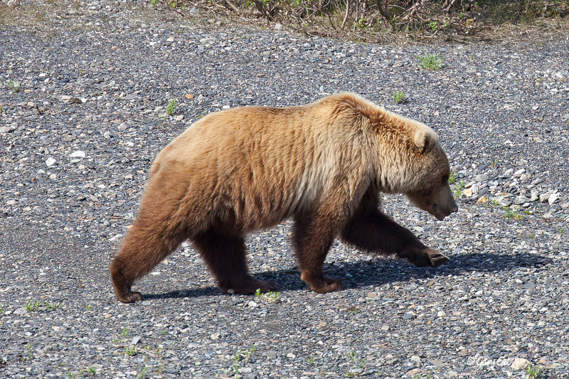 This same Grizzly walks closer to us and headed straight for the Ranger Station.....