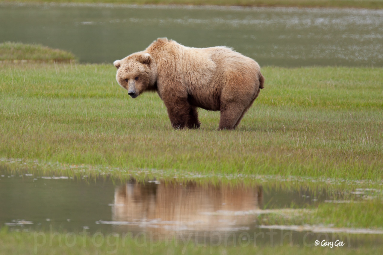 Sow grizzly showing her form with a reflection in a nearby pond