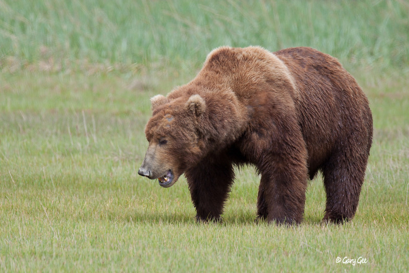 Grizzly Bear in Katmai National Park