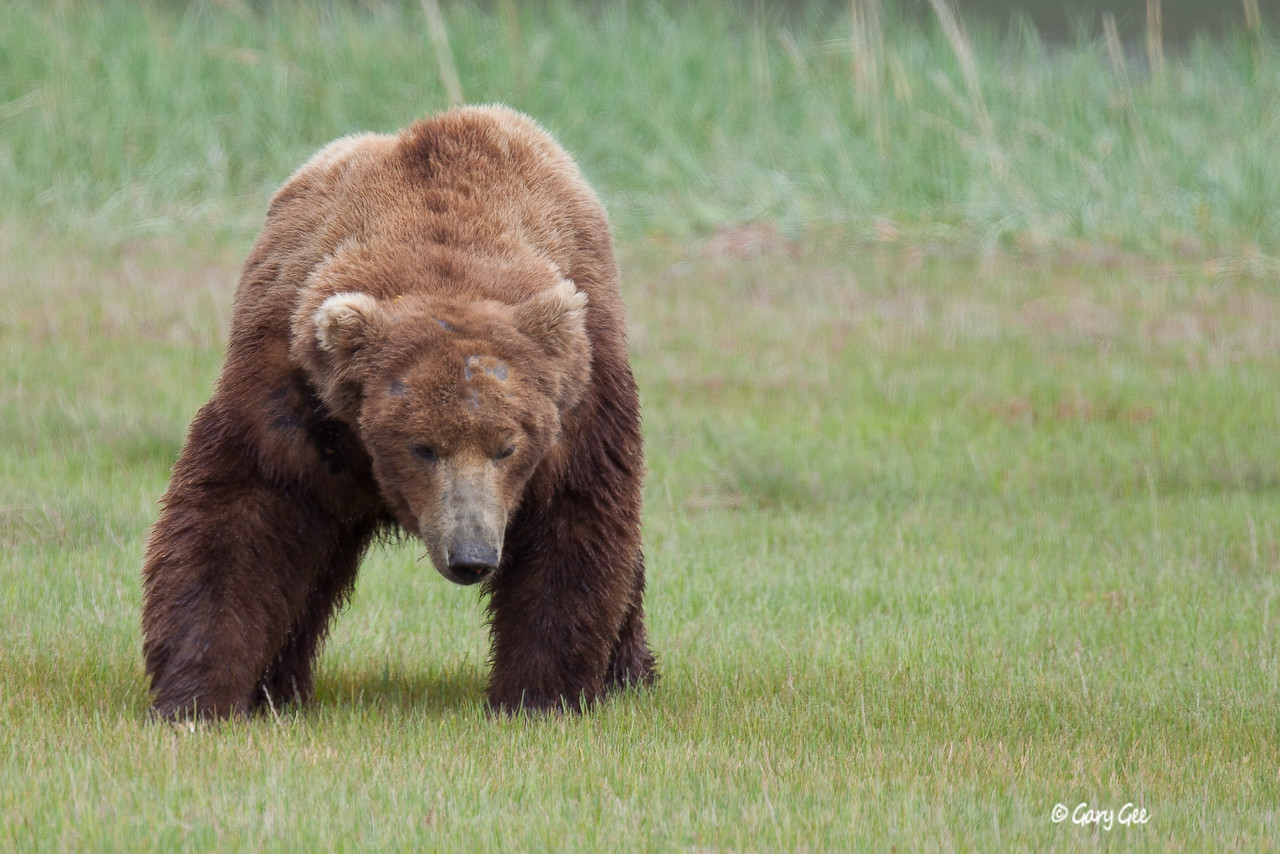 Grizzly-Brown bear of Katmai National Park