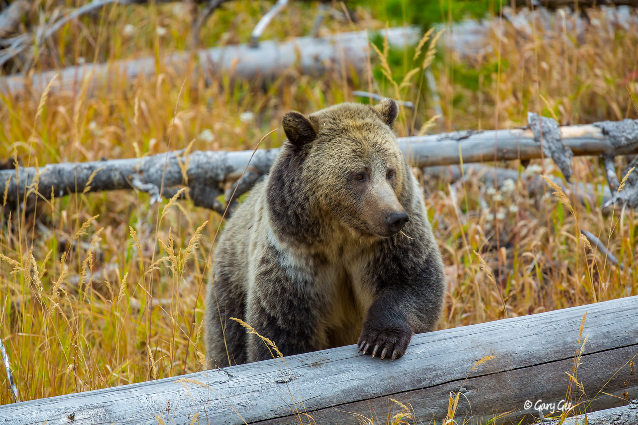 Grizzly Sow in Yellowstone Park 2015