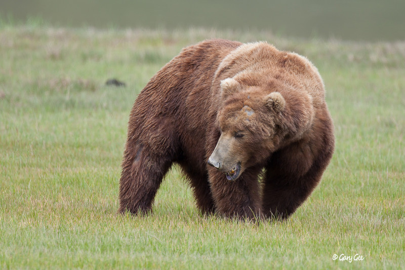 Grizzly shows a little roar to nearby boar who chased him off....