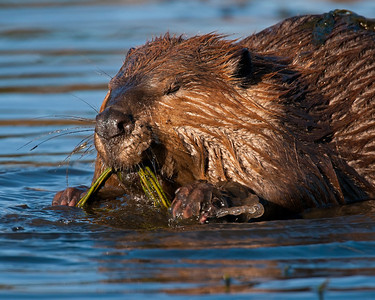 Beaver, Wichita Mountains Wildlife refuge, OK