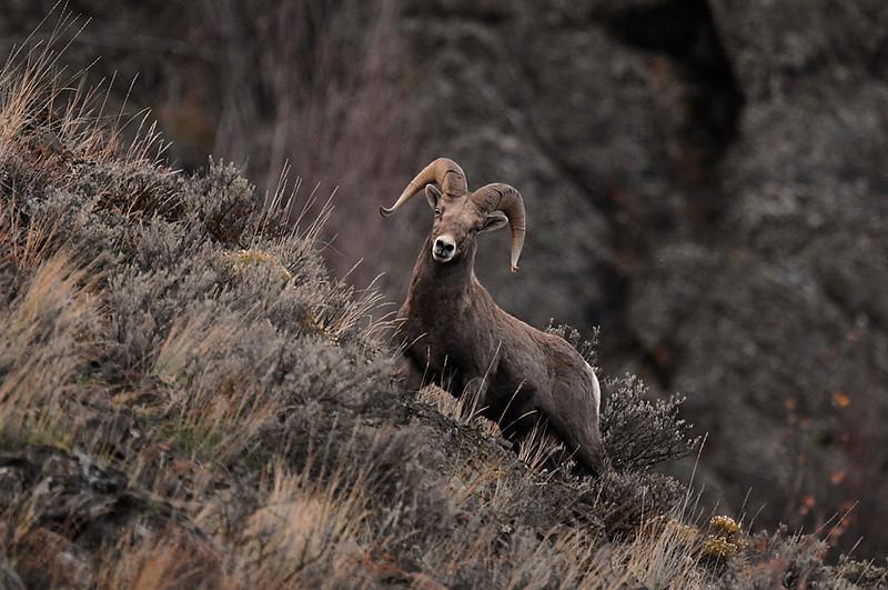 7788 Big Horn Ram